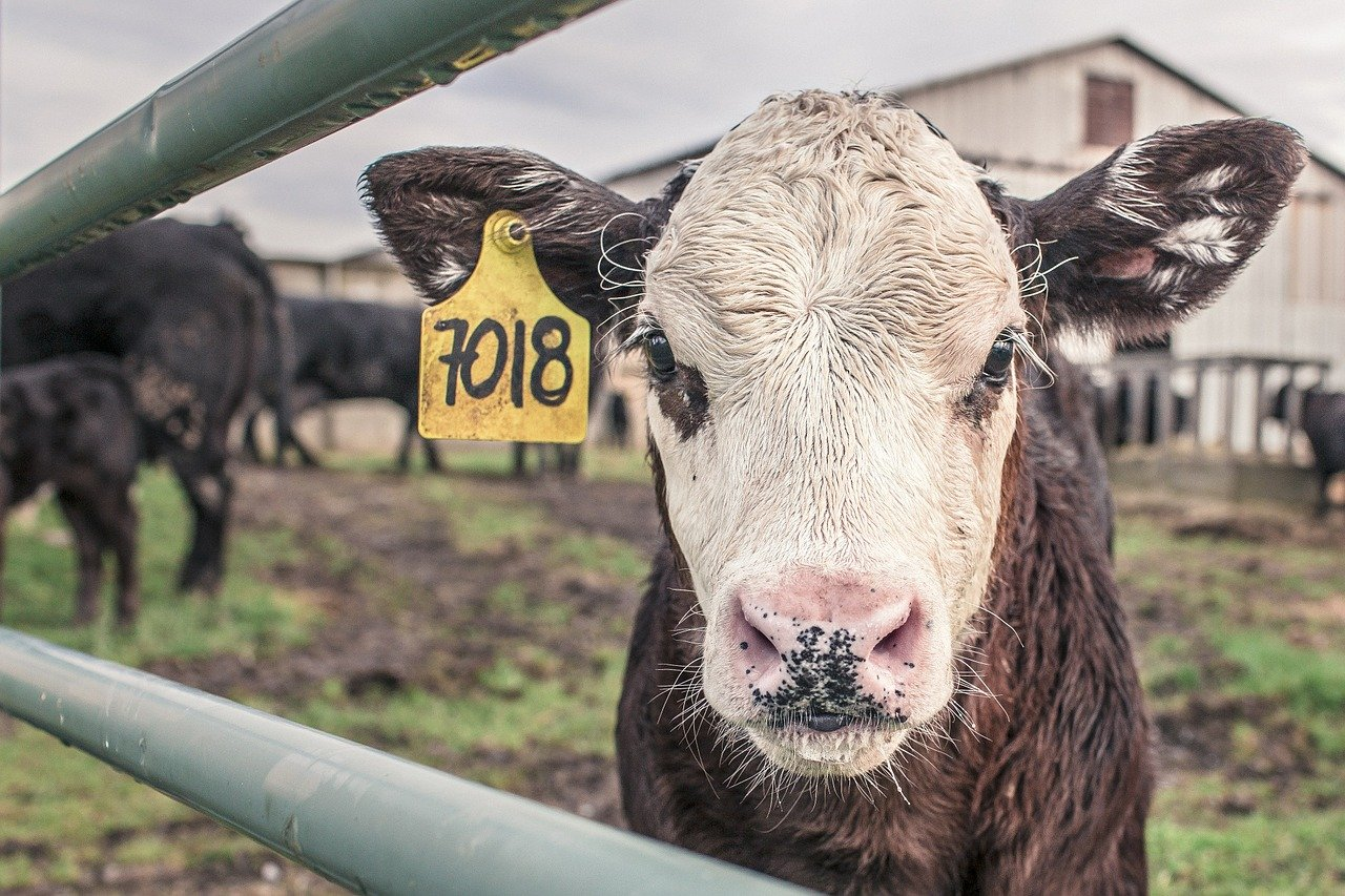 Cow with ear tag