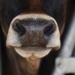 Can Seaweed Solve the Cow Burp Problem?