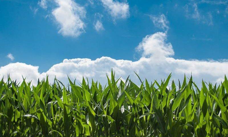 corn-field-sky