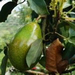 INFOGRAPHIC & GROWING GUIDE: AVOCADO TREES